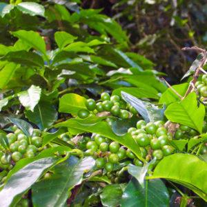Guatemala Finca Ceylan  SHB EP – økologisk (grønne kaffebønner)