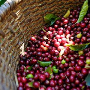 Colombia Tolima Excelso – økologisk (espresso)