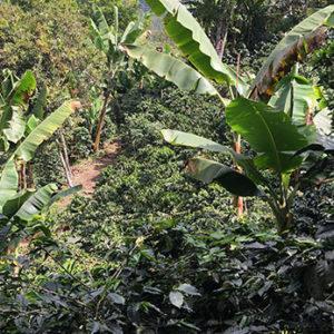 Mexico SHG EP – økologisk (espresso)