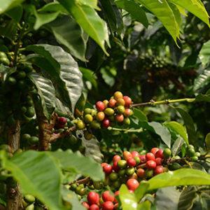 Peru grade 1 – økologisk (espresso)