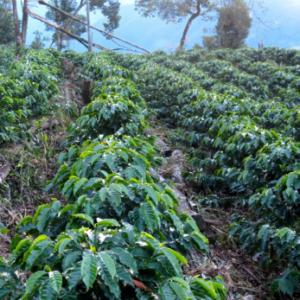 Mexico SHG EP – økologisk (grønne kaffebønner)
