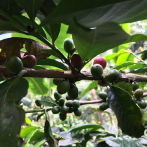 Peru grade 1 – økologisk (grønne kaffebønner)