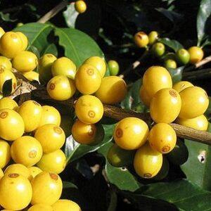 Brasilien Fazenda Saquarema – økologisk