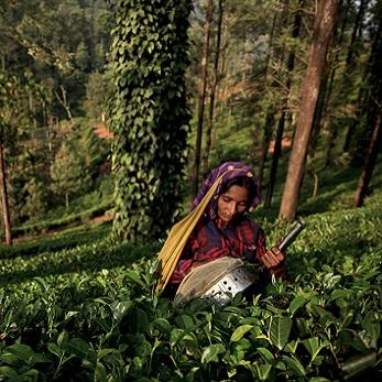 India Plantation A Arabica - økologisk