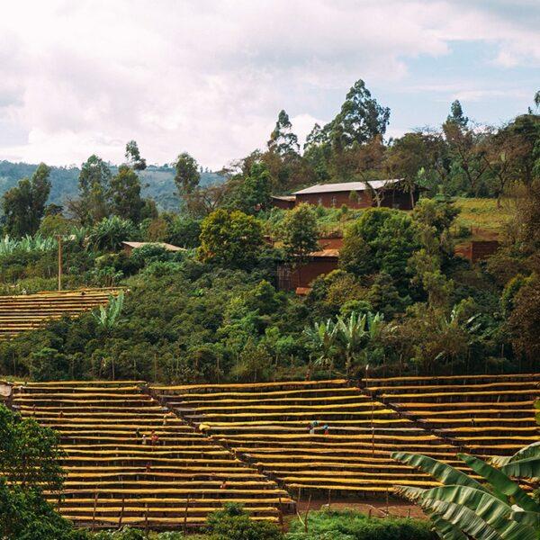 Etiopien Sidamo Suke Quto grade 1 – økologisk (grønne kaffebønner)